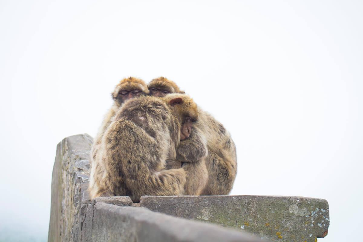 Gibraltári majmok
